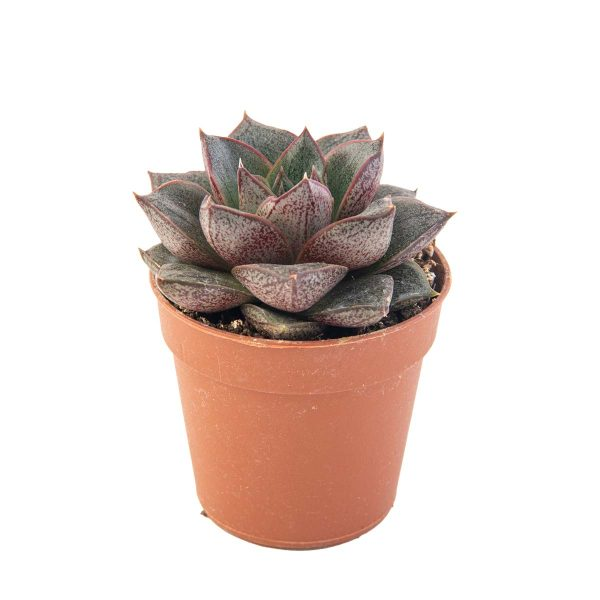 agsanremo as06a echeveria porpusorum